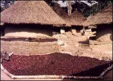 Oldcook: American heritage - drying cacao in Ivory Coast