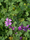 Common mallow - Oldcook : medicinal garden with photos of Salagon Museum