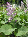 Clary sage - Oldcook : medicinal garden with photos of Salagon Museum