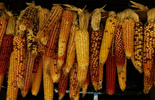 Old cook: American heritage - maize in Guatemala