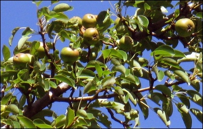 Oldcook: fruits in Medieval Europe - wild pears