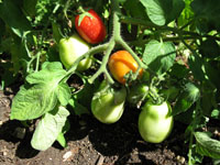 Oldcook : rep�res historiques - tomate