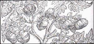 Oldcook: American heritage - tomatos, drawing from Herbal de Gérard, 1633
